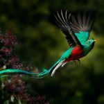 Flying Resplendent Quetzal, Pharomachrus mocinno, in Costa Rica